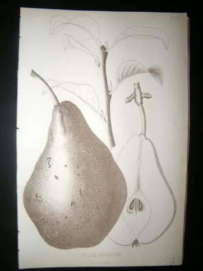 Pomologie de La France C1865 Fruit Print. Belle Angevine, Pear 126 | Albion Prints